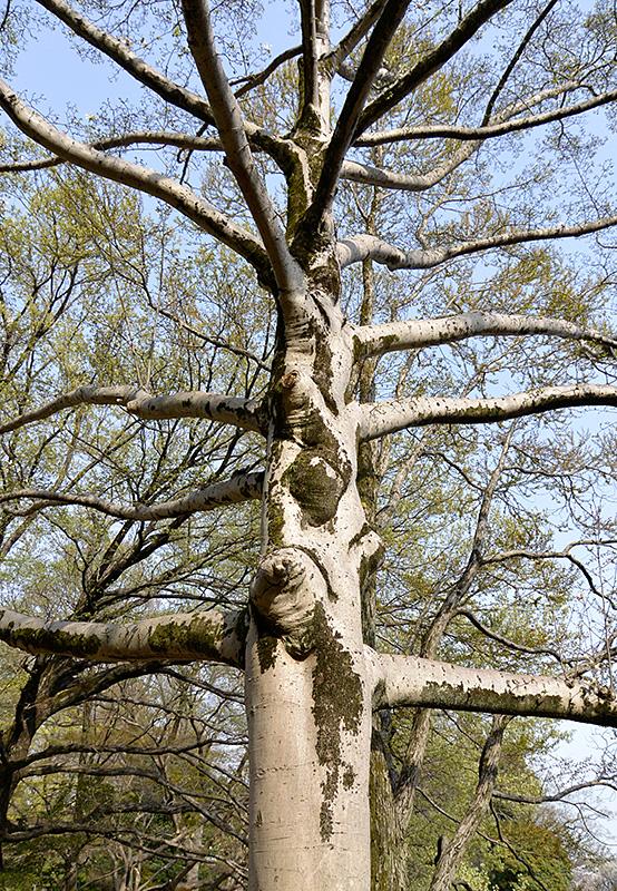 東京・井の頭公園のこぶしの木