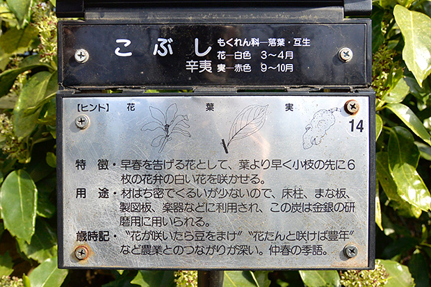 東京・井の頭公園のこぶしの木の説明