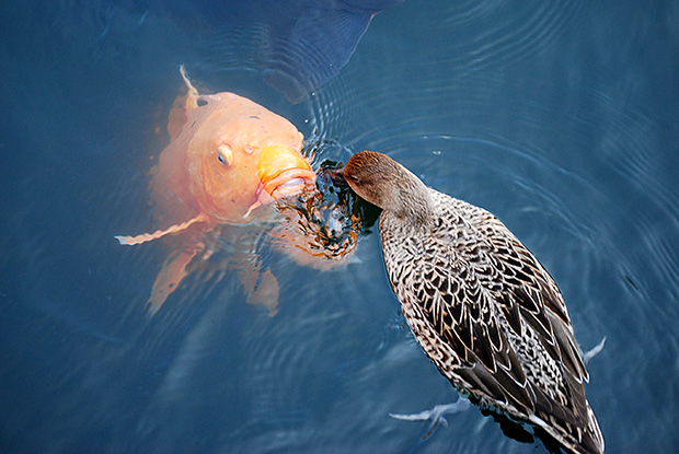 鯉と鴨の戦い