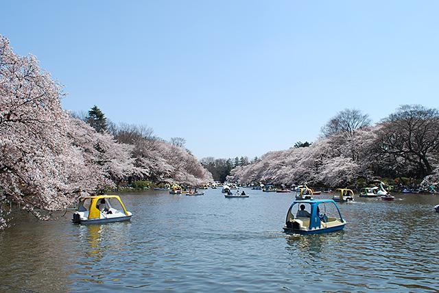 井之頭公園の桜
