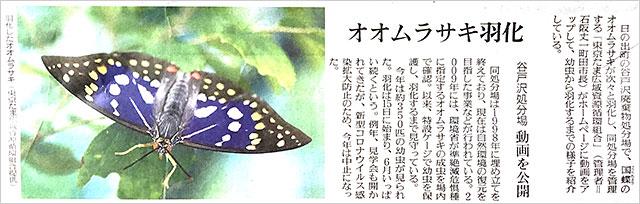 読売新聞・国蝶オオムラサキの記事